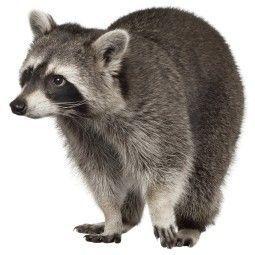 KEK Amsterdam Forest Friend Raccoon muursticker