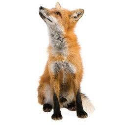 KEK Amsterdam Forest Friend Fox muursticker