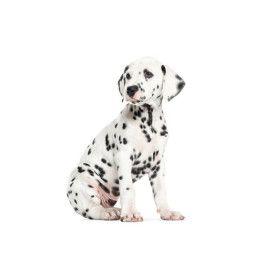 KEK Amsterdam Dalmatian Puppy muursticker